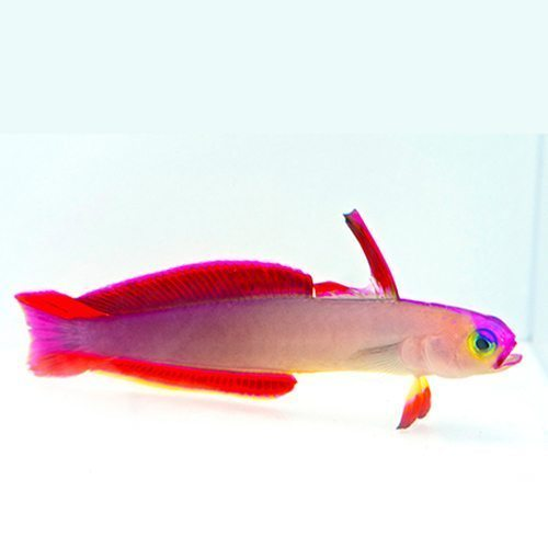 Marine Purple Firefish