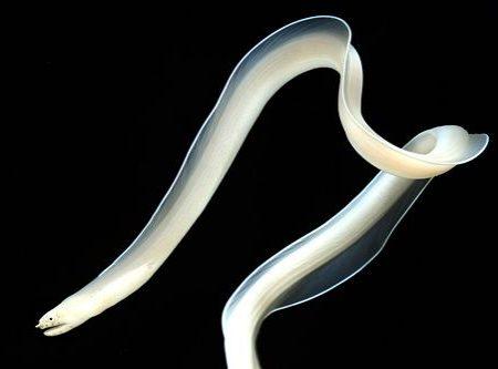 Ghost Ribbon Eel