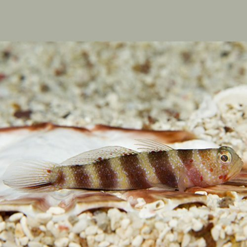 Marine Bumble Bee Goby