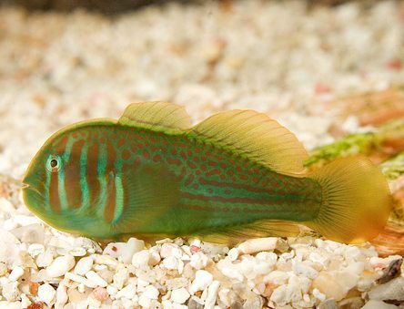 Marine Green Clown Goby