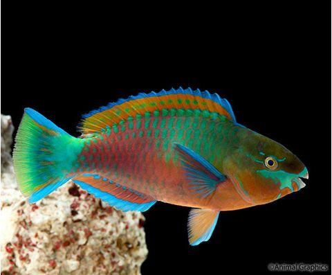 Marine Green Parrotfish Female