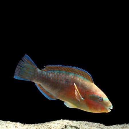 Marine Princess Parrotfish