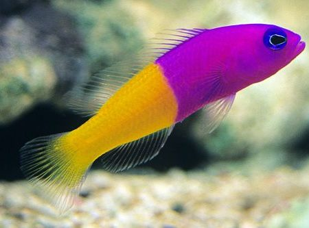 Bicolor Pseudochromis