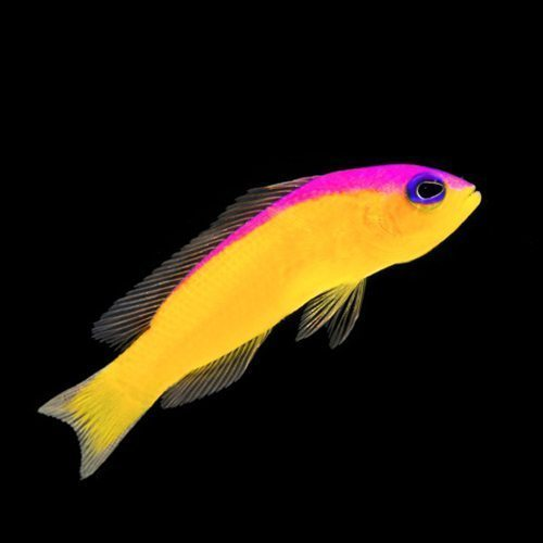 Diadema Pseudochromis