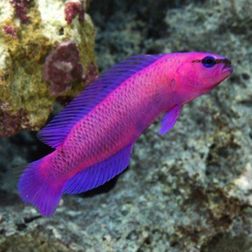 Fridmani Pseudochromis Tank Raised