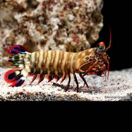 Marine Colored Mantis Shrimp