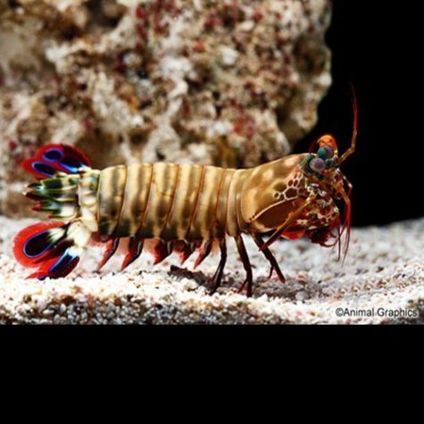 Marine Colored Mantis Shrimp