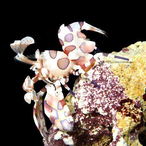 Marine-Shrimp-Harlequin