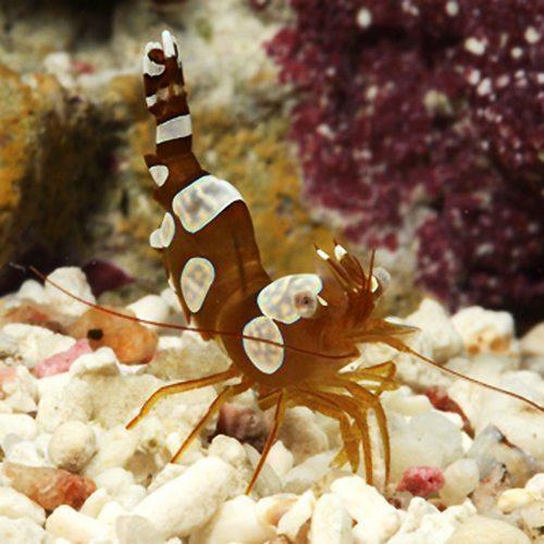 Marine-Shrimp-Sexy-Shrimp