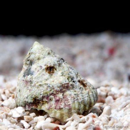 Marine-Snail-Astrea-Turbo-Atlantic