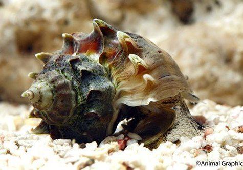 Marine-Snail-Kings-Crown-Snail