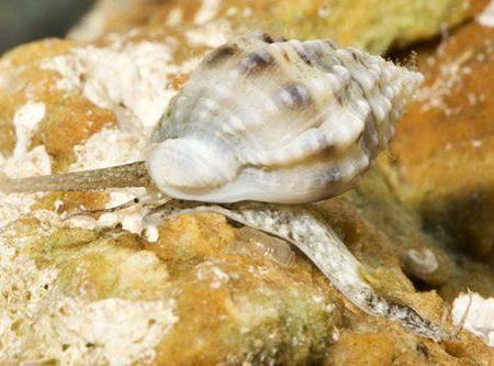 Marine-Snail-Nassarius-Snail