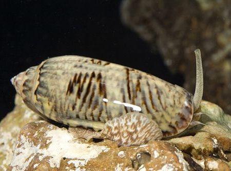 Marine-Snail-Olive-Snail