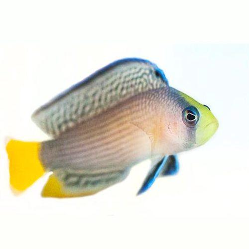 Splendid Pseudochromis Tank Raised