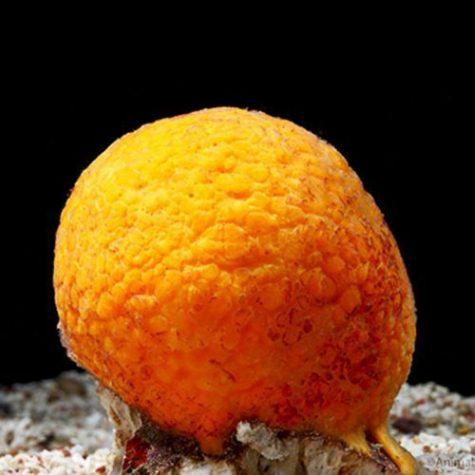 Marine-Sponge-Yellow-Ball