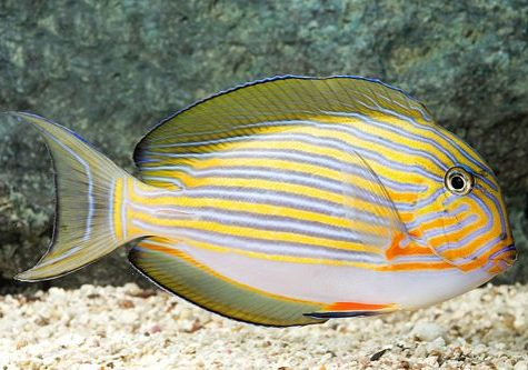 Marine-Tang-Clown-Lineatus