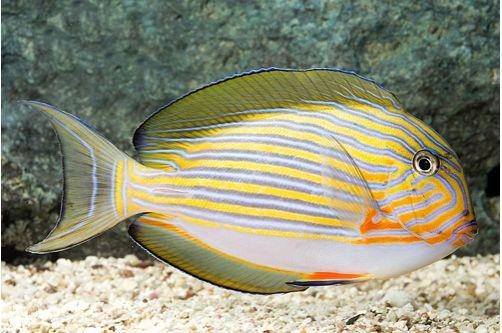 Marine-Tang-Clown-Lineatus