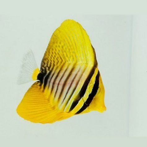 Marine-Tang-Desjardini-Sailfin-Red-Sea