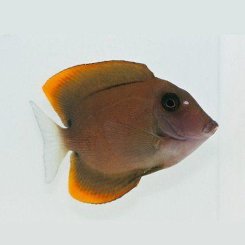 Marine-Tang-Firefin-Tomini-Bristletooth