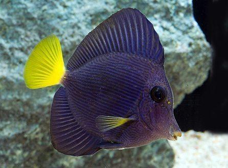 Marine-Tang-Purple-B-Grade