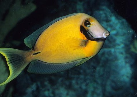 Marine-Tang-Yellow-Mimic