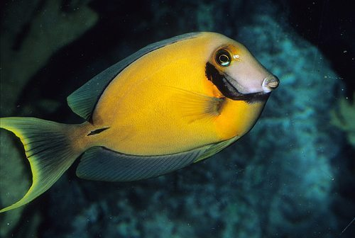 Marine-Tang-Yellow-Mimic