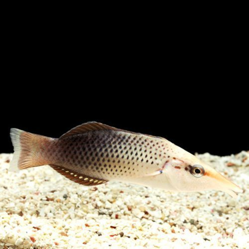 Brown Bird Wrasse