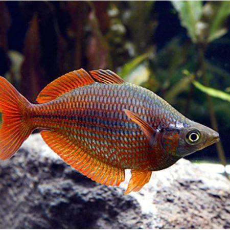 Millennium Tropical Rainbowfish