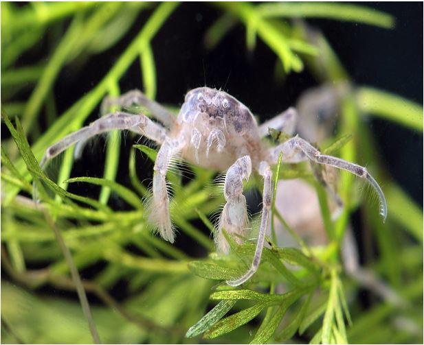 Mini Algae Eating Thai Micro Spider Crab