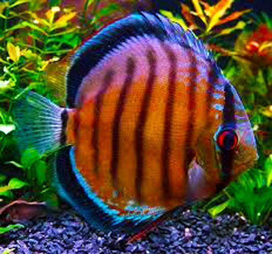 Mixed Discus in Multiple Colors from Singapore