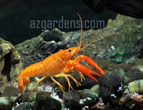 New Guinea Apricot Freshwater Lobster