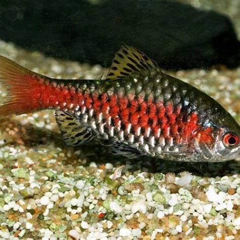Odessa Barb Tropical Fish