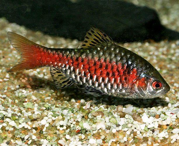 Odessa Barb Tropical Fish