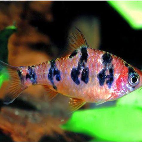 Orange Buffalo Rhombo Barb Tropical Fish