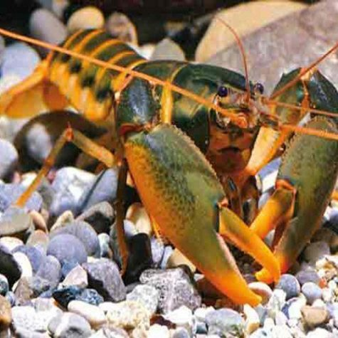 Orange Hand Freshwater Lobster