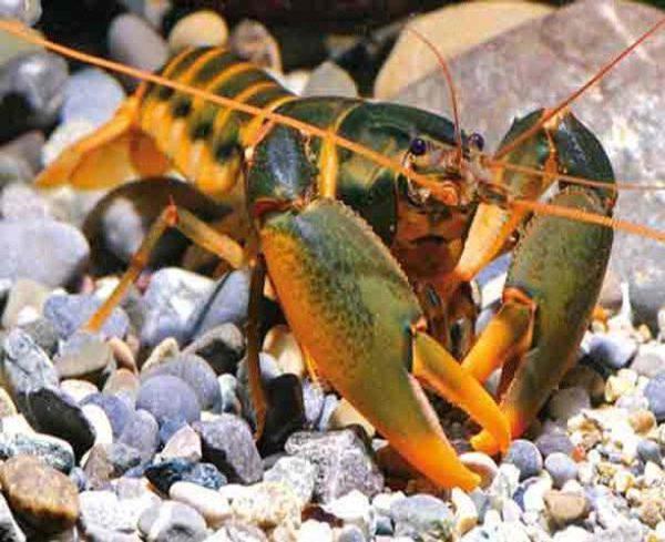 Orange Hand Freshwater Lobster