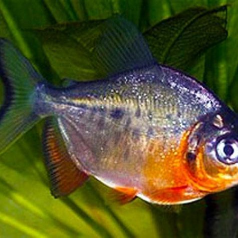 Pacu Red Belly Piranha