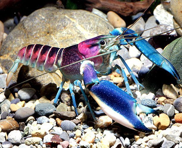 Pink Coral Freshwater Lobster
