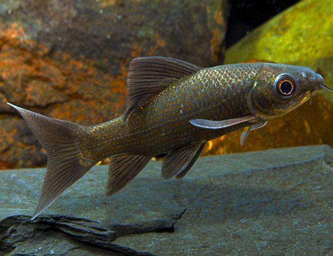 Piper Shark Carp Fish