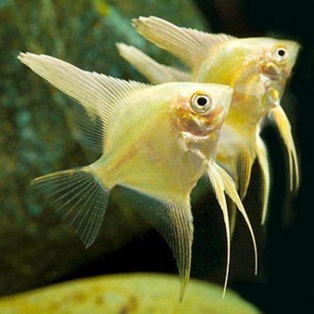 Pterophyllum Scalare Gold Angelfish