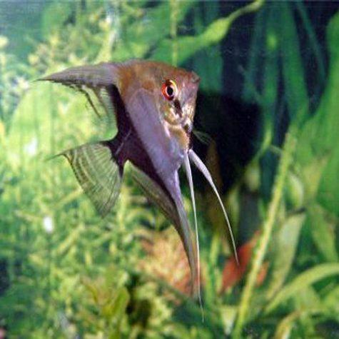 Pterophyllum Scalare Half Black Angelfish
