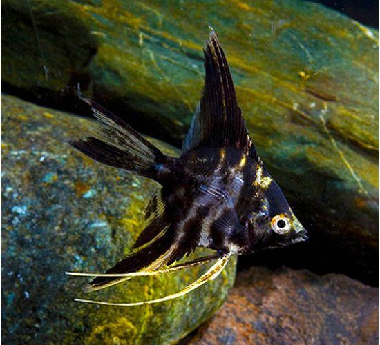 Pterophyllum Scalare Marble Veil Angelfish