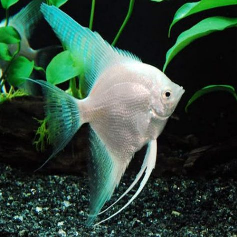 Pterophyllum Scalare Platinum Blue Angelfish