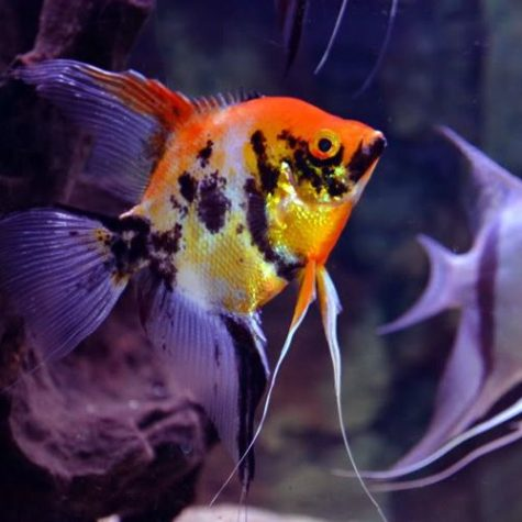 Pterophyllum Scalare Red Marbled Angelfish