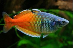 Rainbowfish Aquarium Fish