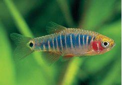 Rasboras Aquarium Fish