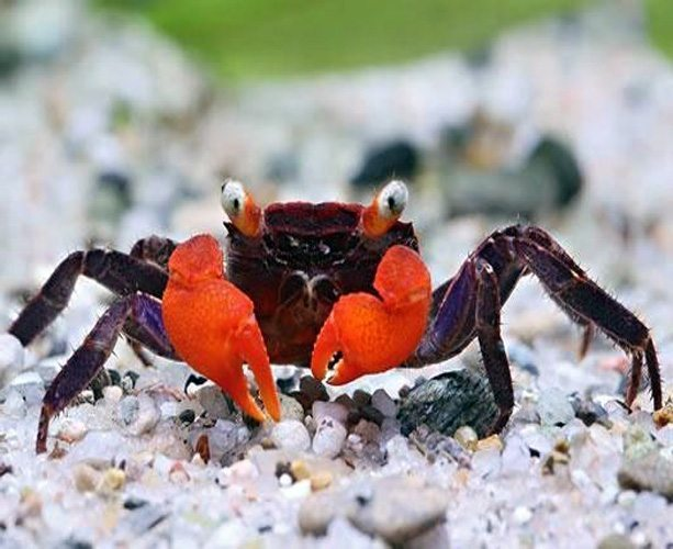 Red Devil Crab