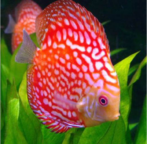 Red Eagle Discus