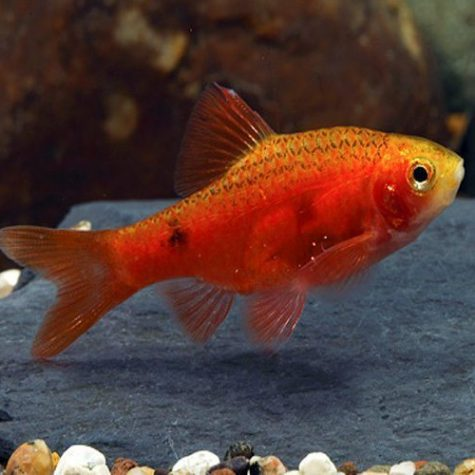Red Glass Barb Tropical Fish