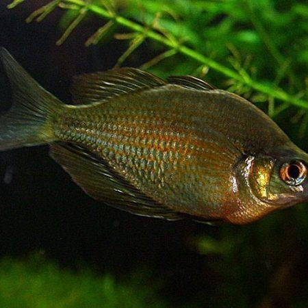 """Red Irian Rainbowfish 2"""""""